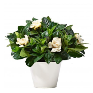Gardenia Plants جاردينيا - Delivery outside Amman (Amman villages and governorates) will take place 24hours after ordering