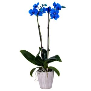 Blue Orchids Plant - This plant is considered one of the most luxurious types of indoor plants