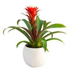 Guzmania Plant - It is considered one of the most beautiful indoor plants.